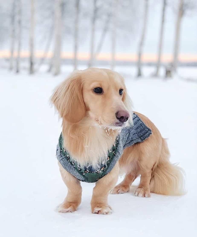 Clear Cream Dachshund or EE Dachshund in winter