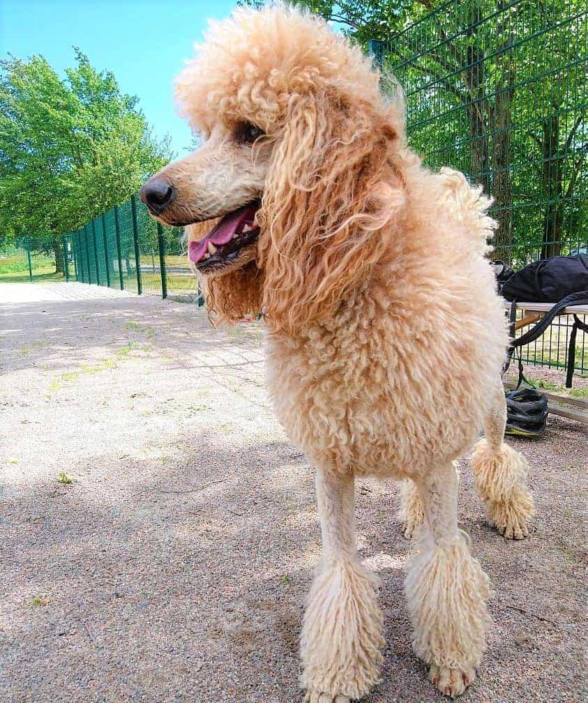 Corded French Poodle