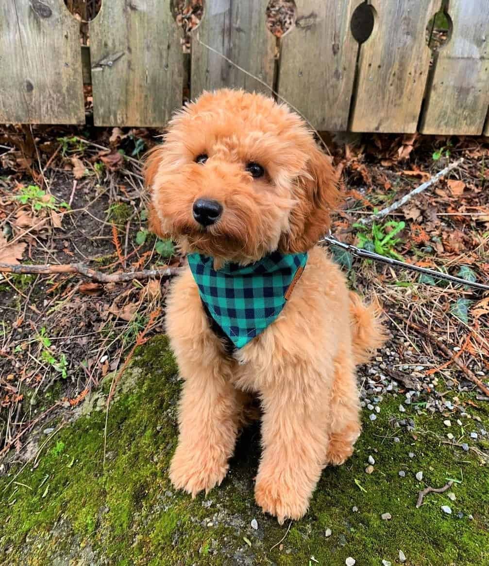 Curly French Poodle