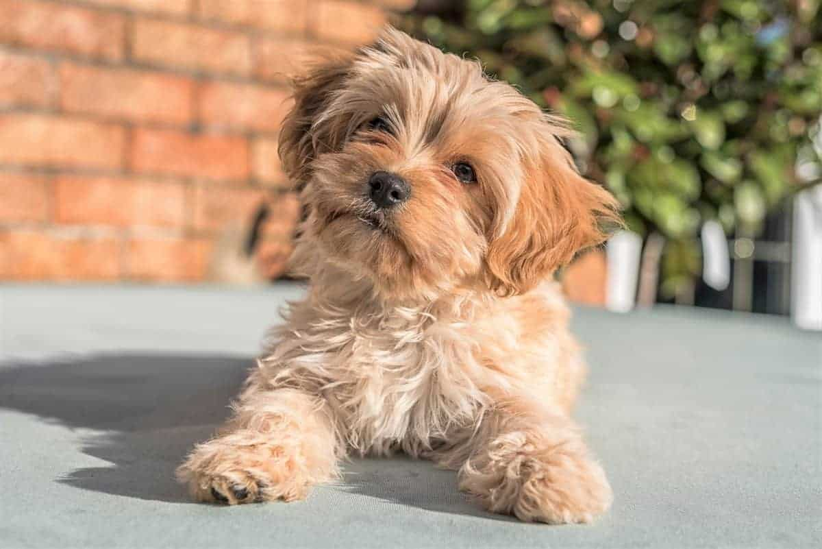 Cute Cavapoochon puppy looking at the camera.