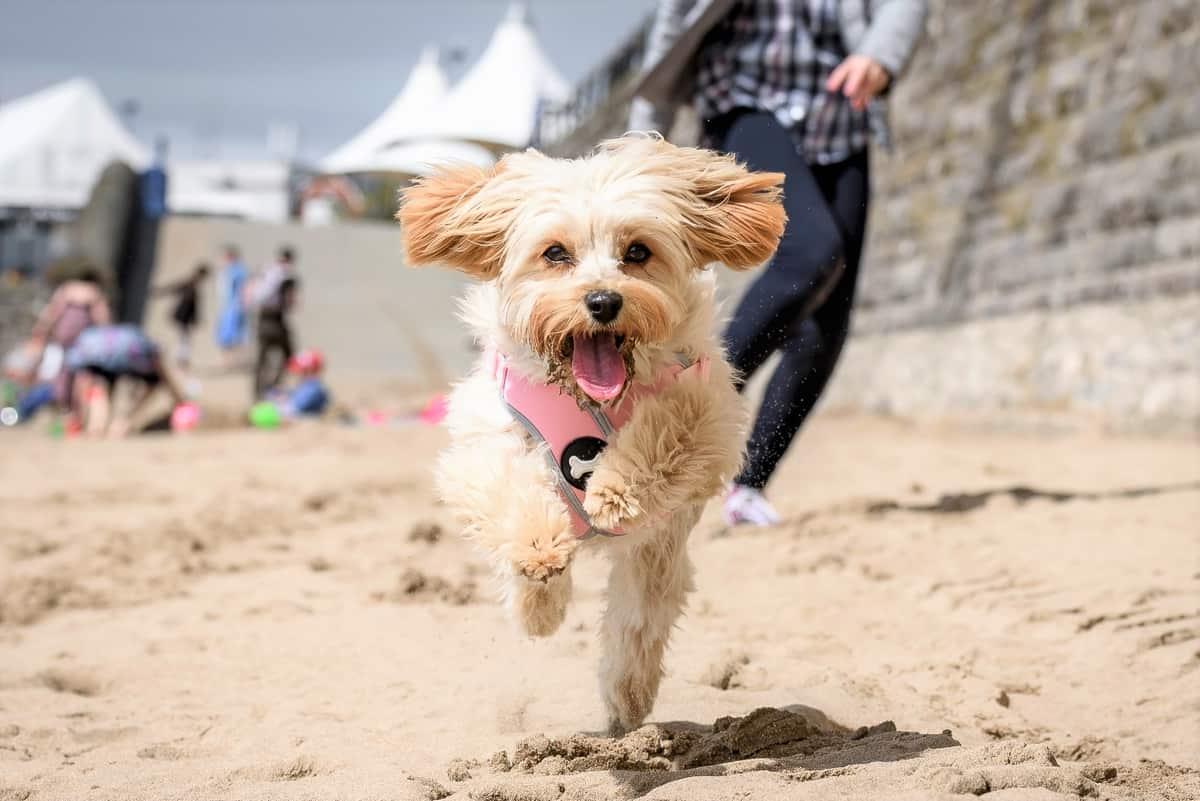 Cute Cavapoochon puppy running around on a beach