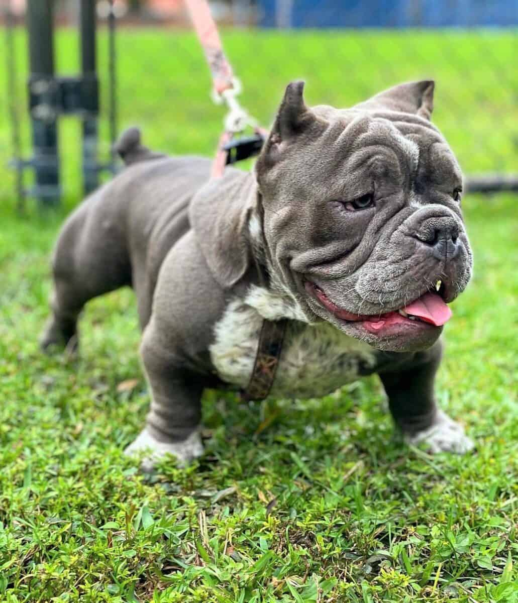 Cute Exotic Bully puppy