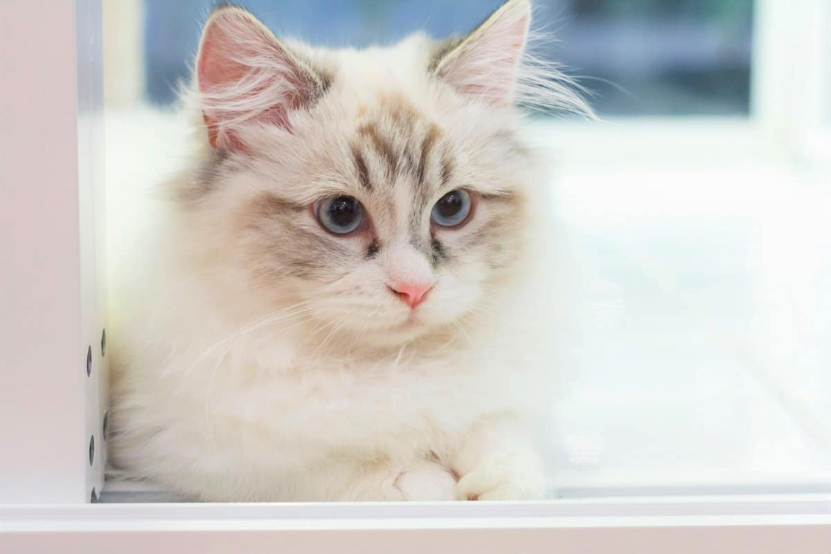 Cute Persian Munchkin cat for sale price and expenses