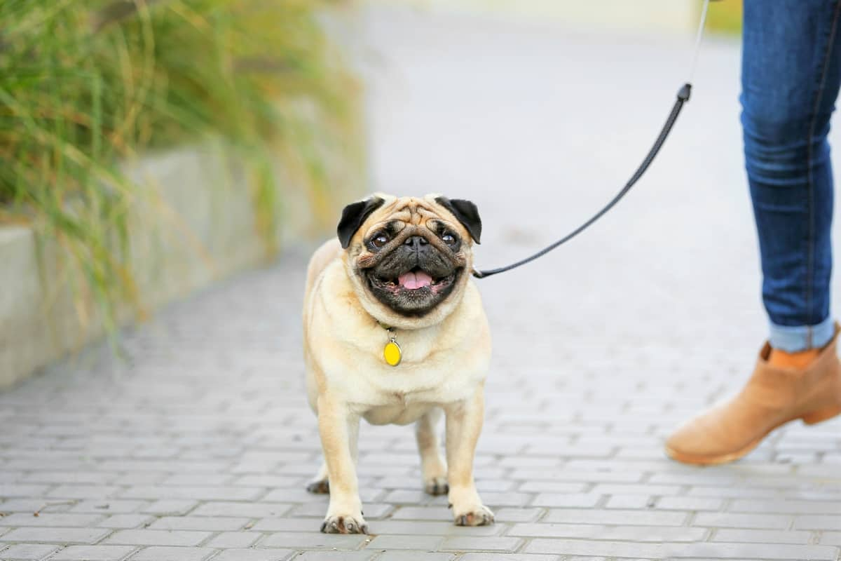 Cute Pug dog with owner walking outdoors