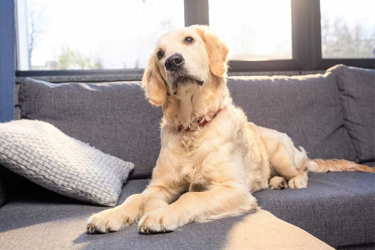 Cute adopted Golden Retriever dog lying on sofa indoors