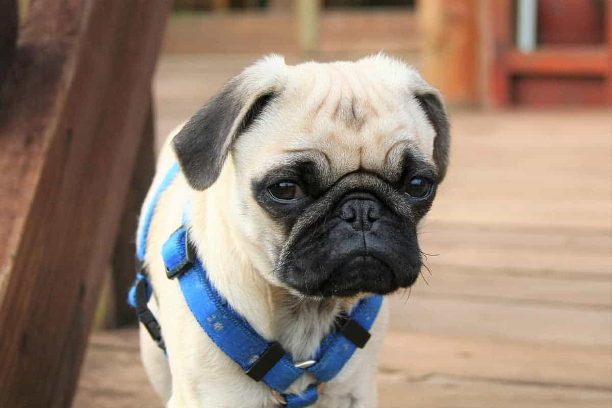 Cute teacup Pug closeup