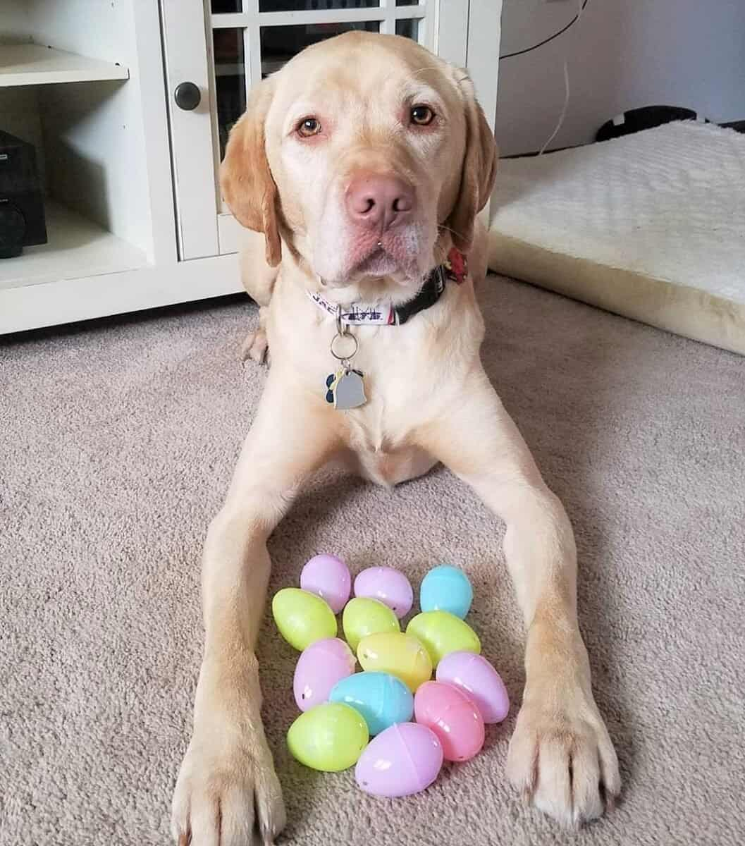 Dudley Lab with his toys
