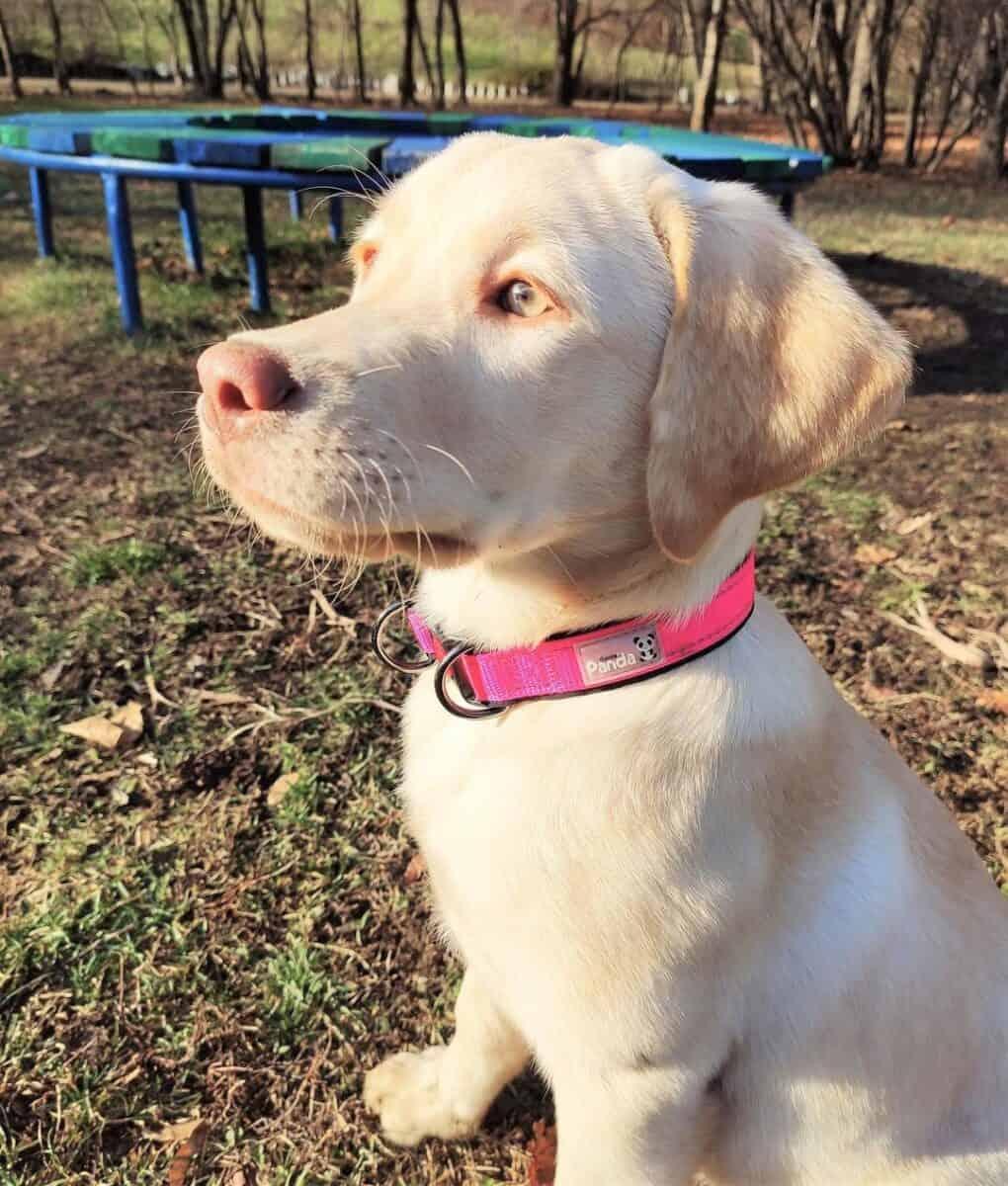 Dudley Labrador puppy in a park
