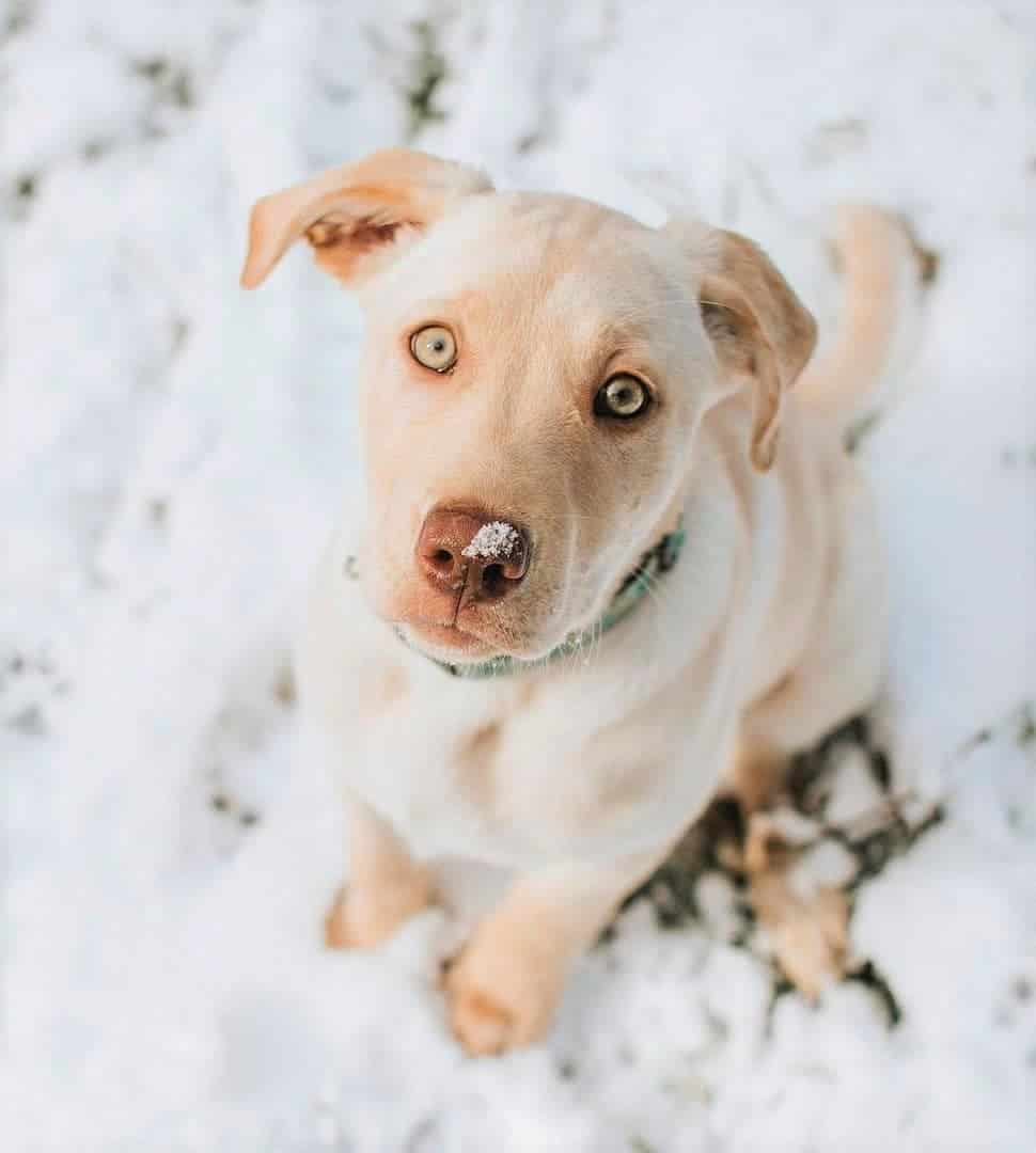 Dudley Labrador puppy with bright yellow eyes