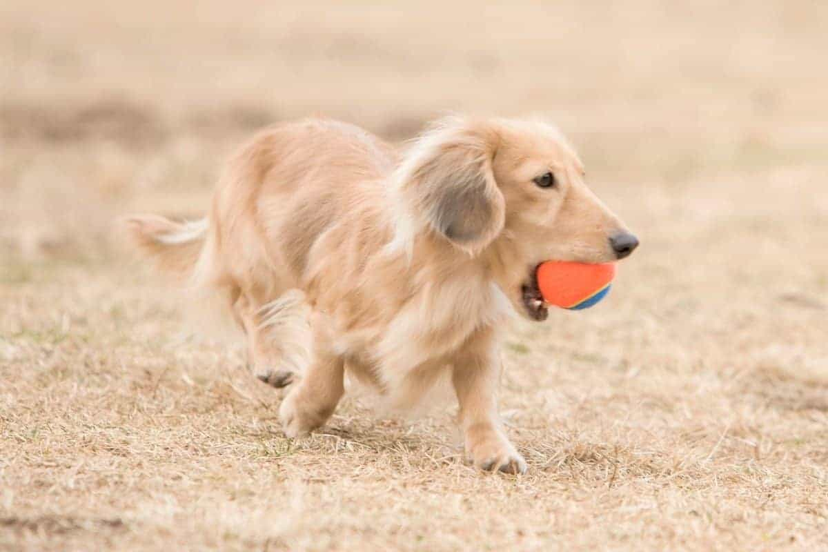 English Cream Dachshund puppy playing its toy