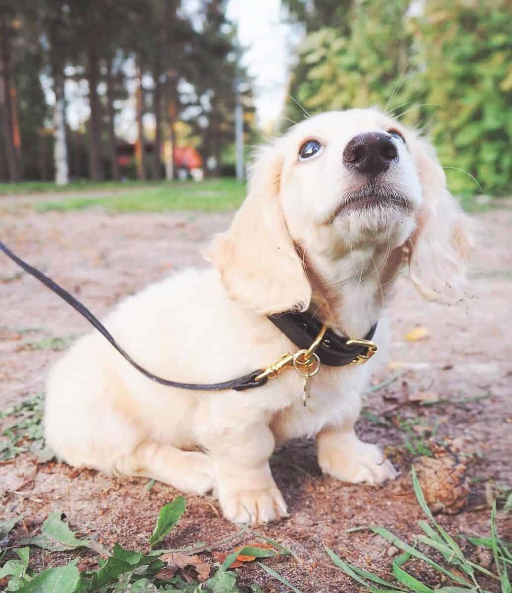 English Cream Dachshund puppy walking on leash