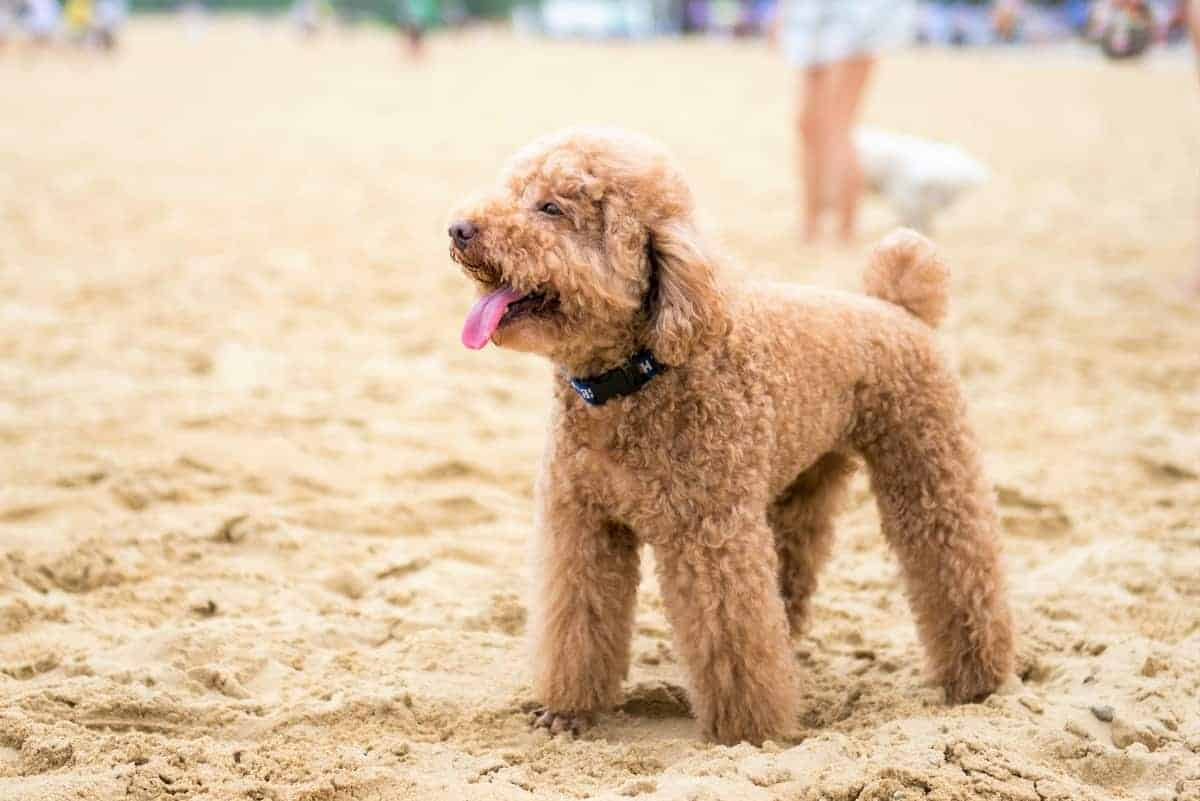 French Poodle on the beach
