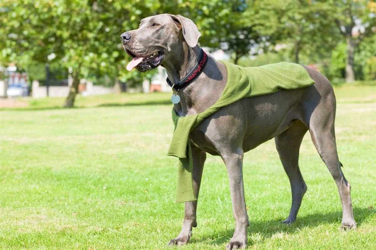 Giant blue Great Dane outdoors