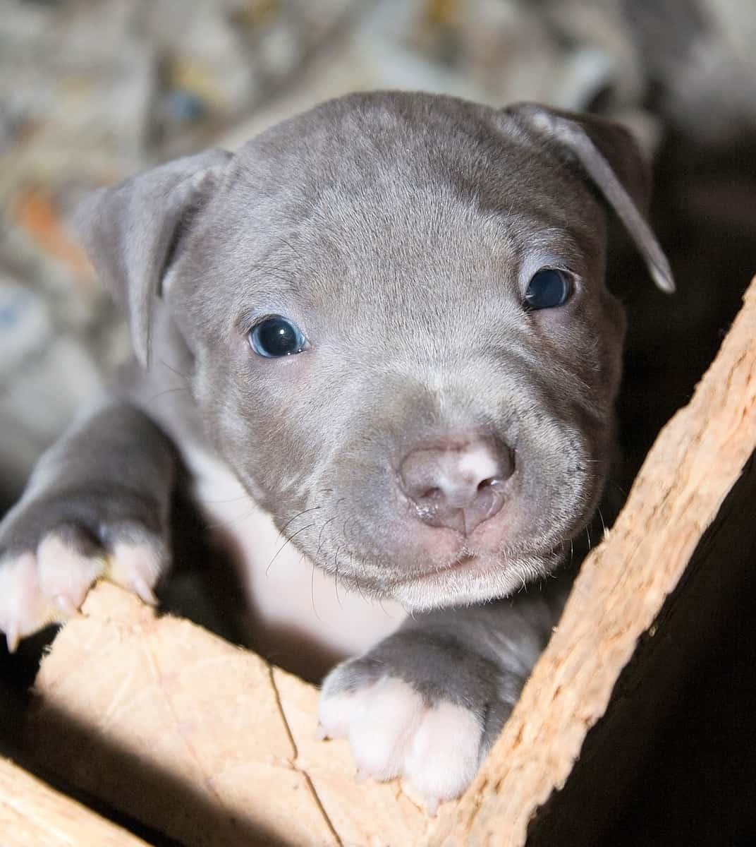 Gray Pitbull puppy with blue eyes