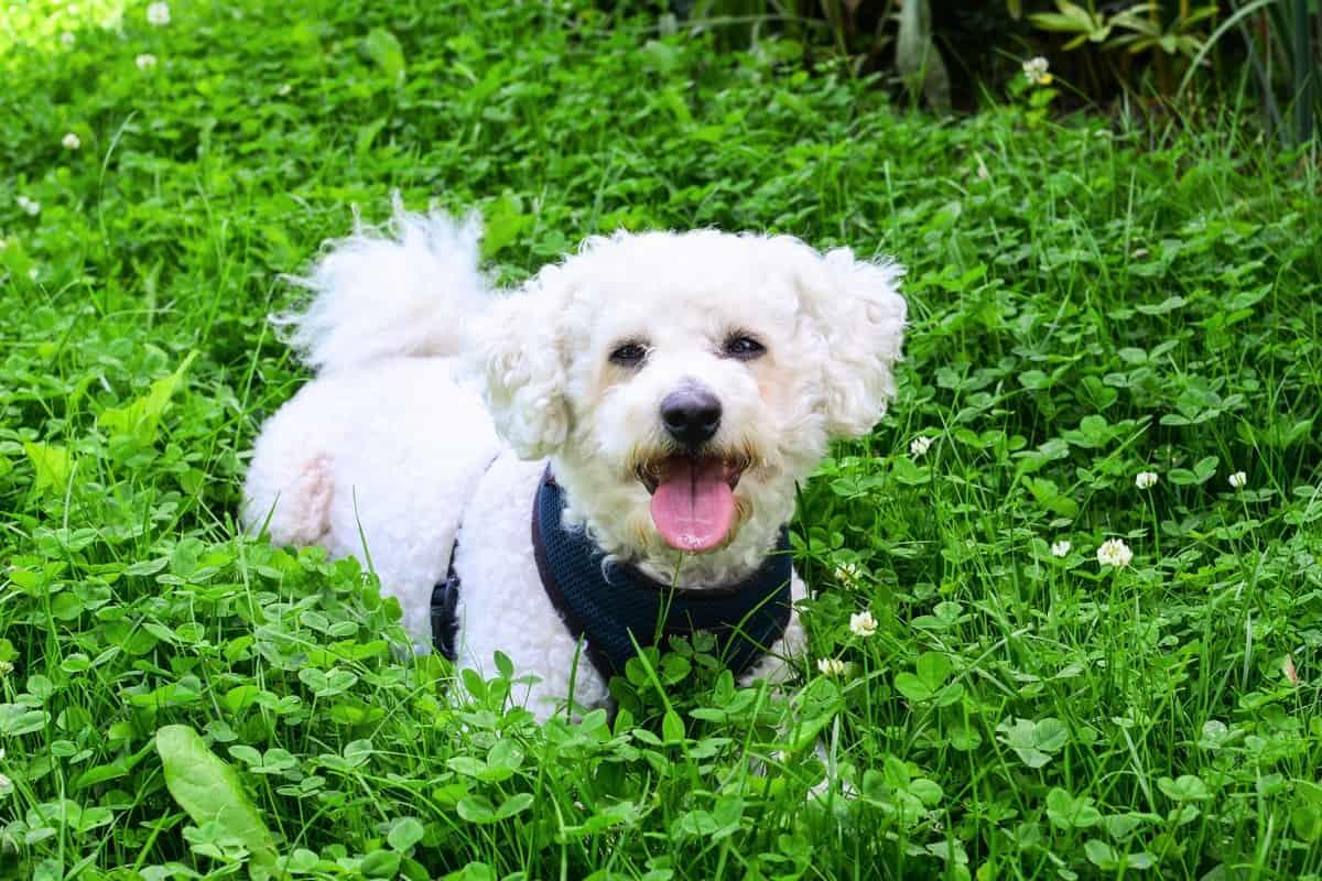 Happy Bichon Frise puppy in the garden