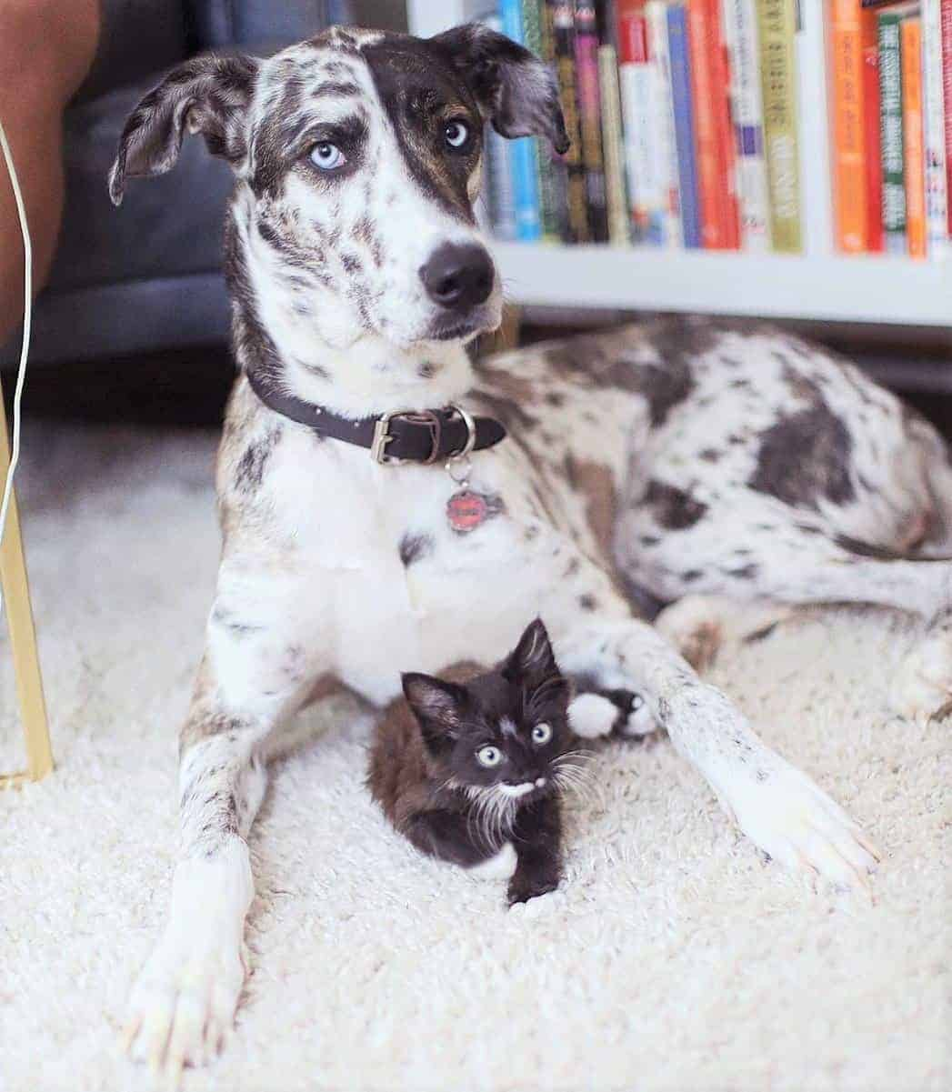 Husky and Great Dane mix with a cute kitten