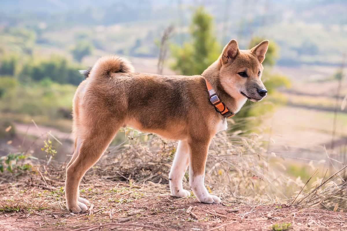 Ideal weight Shiba Inu puppy