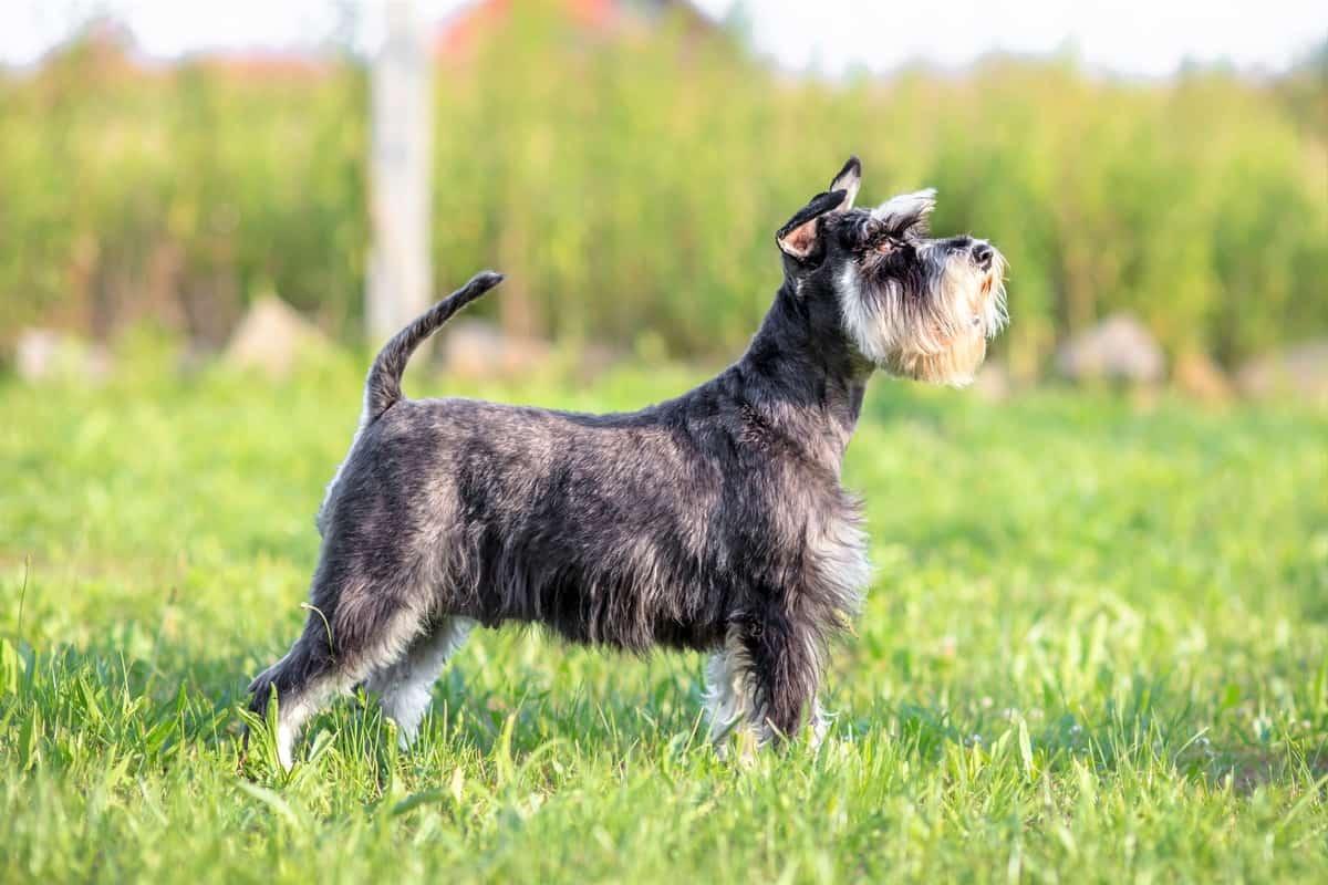 Miniature Schnauzer puppy in the sun