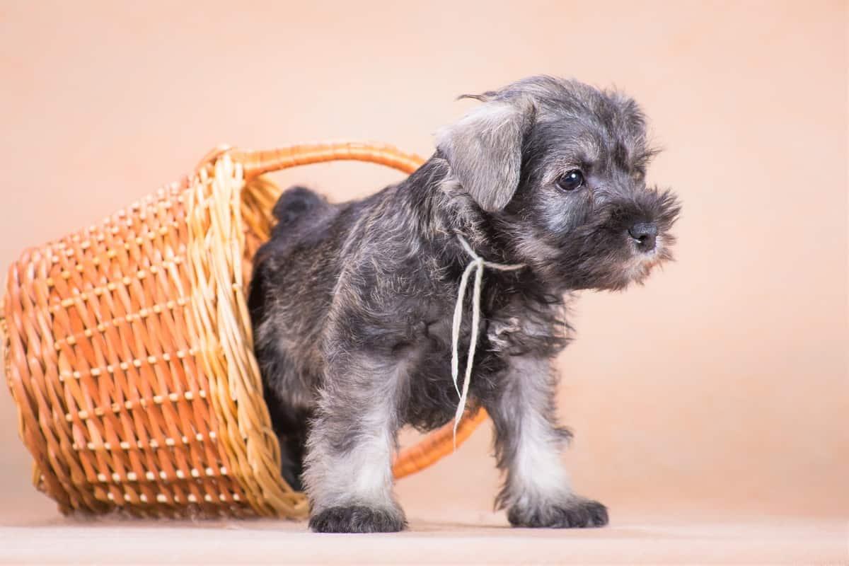 Miniature Schnauzer puppy from a breeder