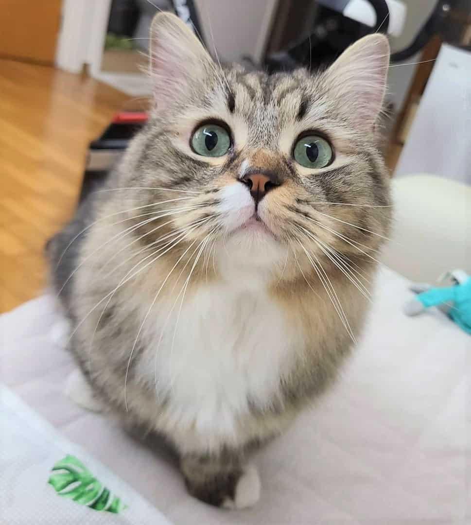 Munchkin cat with big eyes closeup