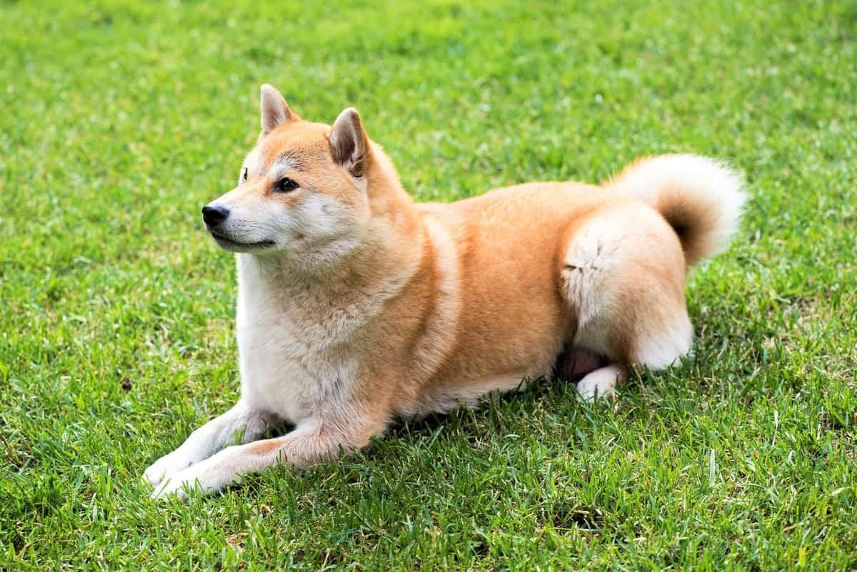 Overweight Shiba Inu lying on grass