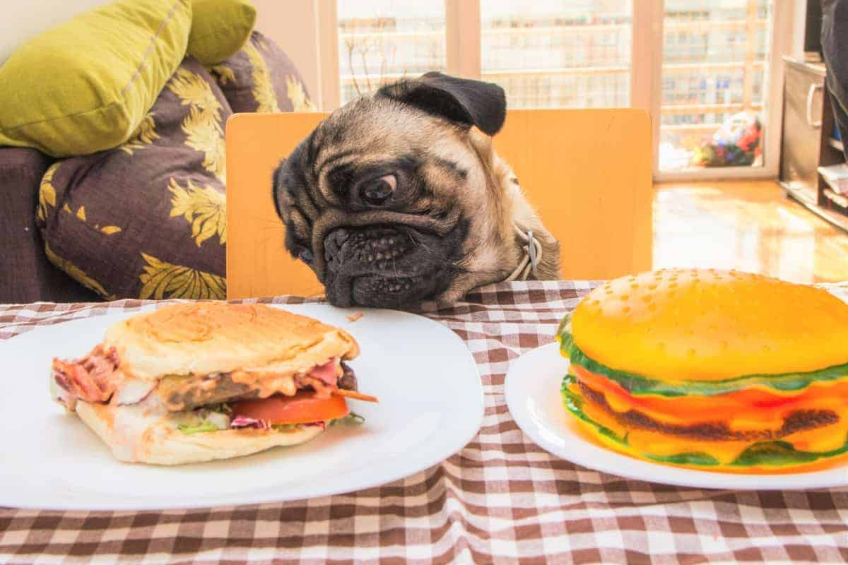 Pug looking at a giant burger