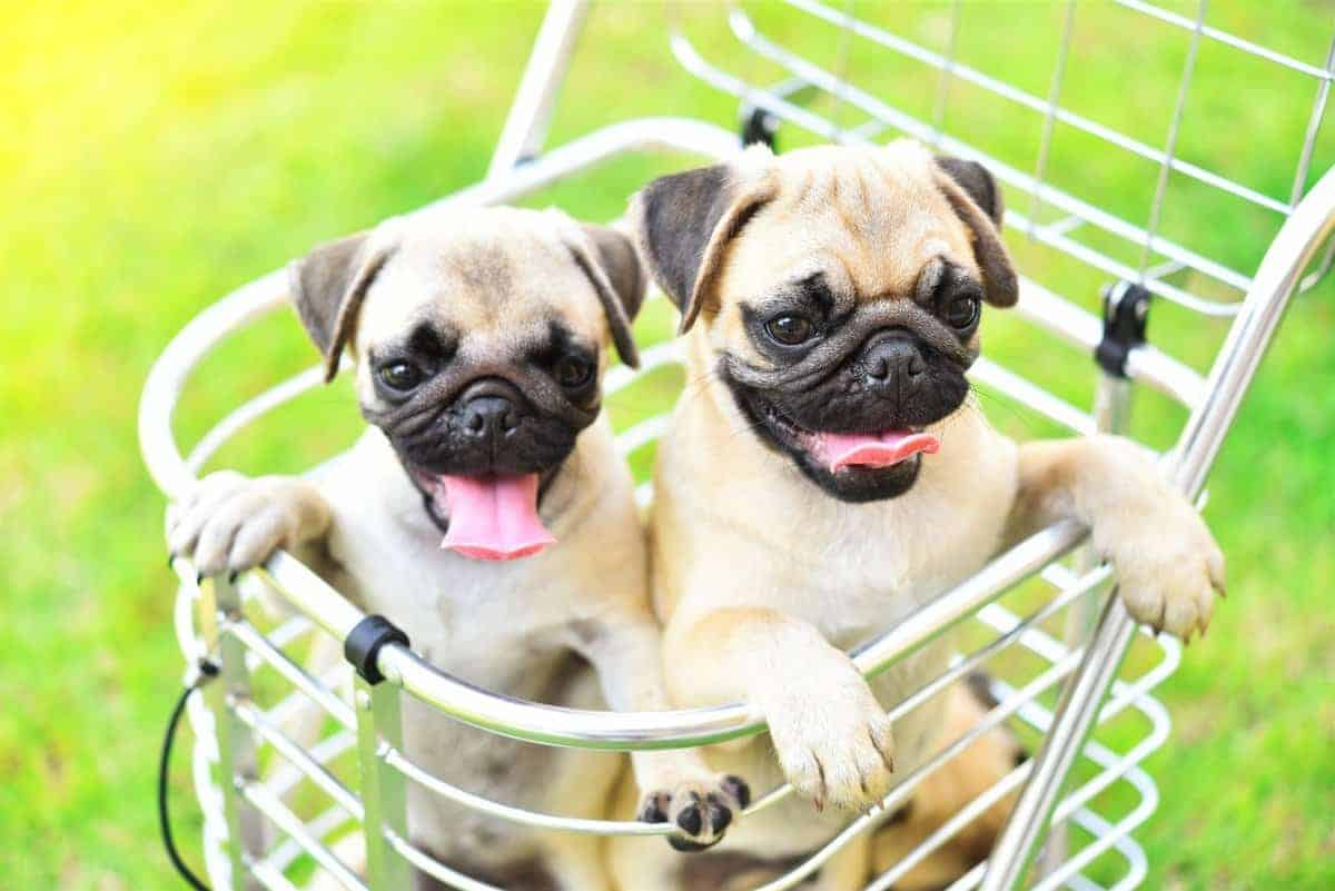 Pug puppies for sale puppy prices costs and expenses