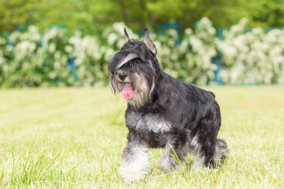 Purebred dog Miniature Schnauzer for sale prices and expenses