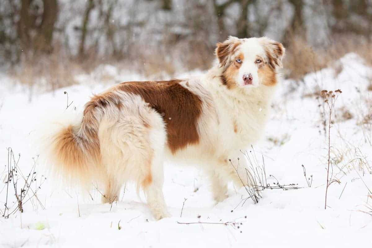 Red merle Aussie in winter
