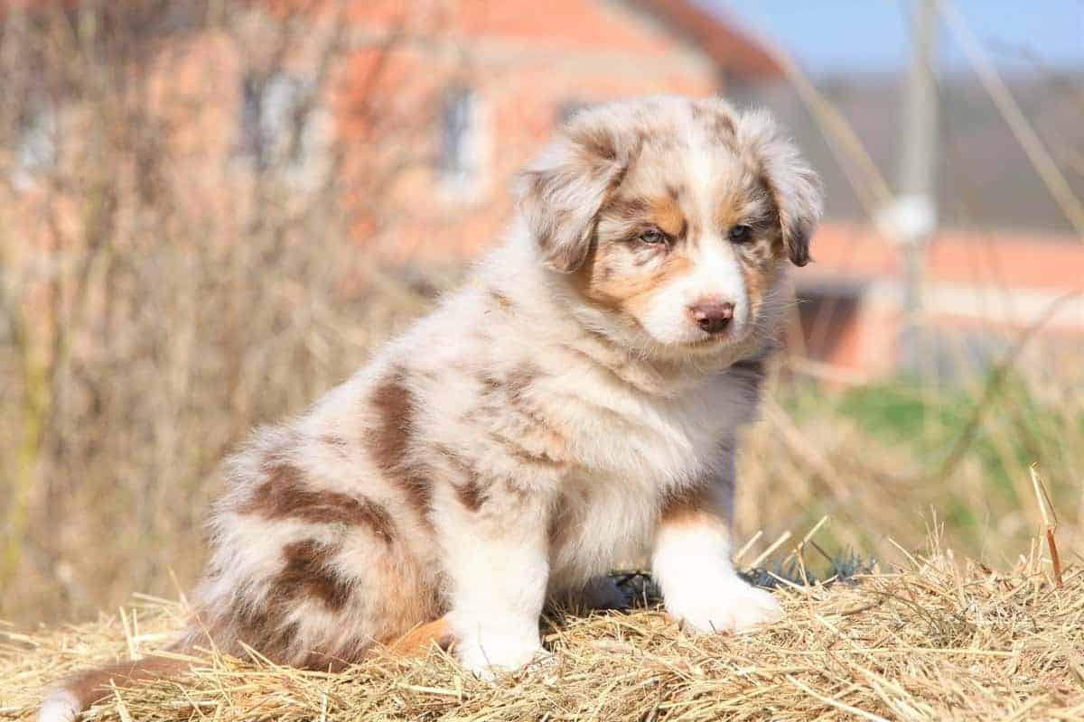 Red merle Australian Shepherd puppy for sale