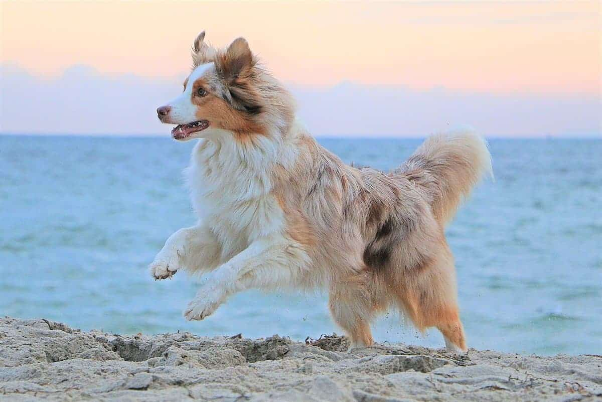 Red merle Australian Shepherd running at the beach