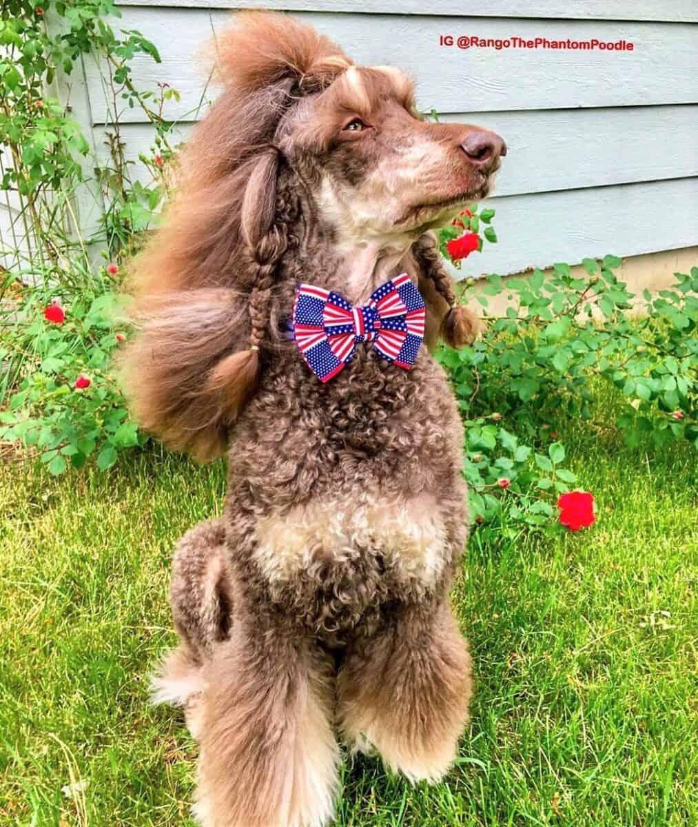 Red phantom Poodle