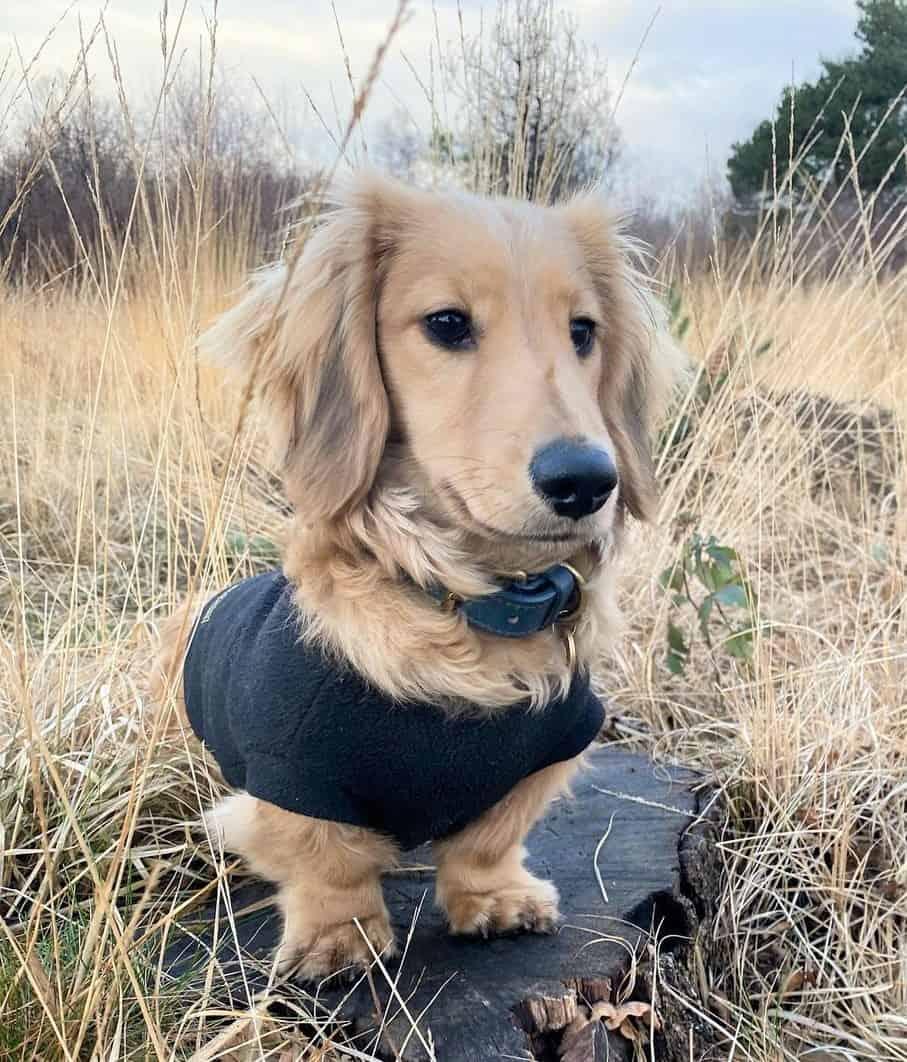 Shaded Cream Dachshund wearing a black dog shirt