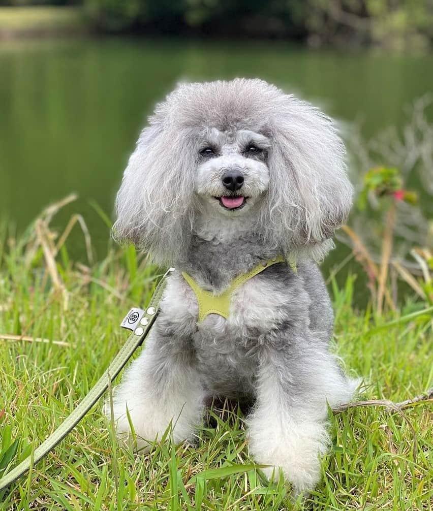 Silver phantom Poodle