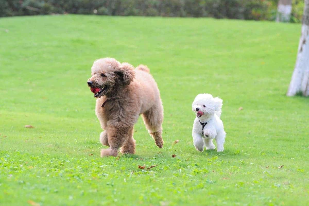Standard and toy French Poodles running