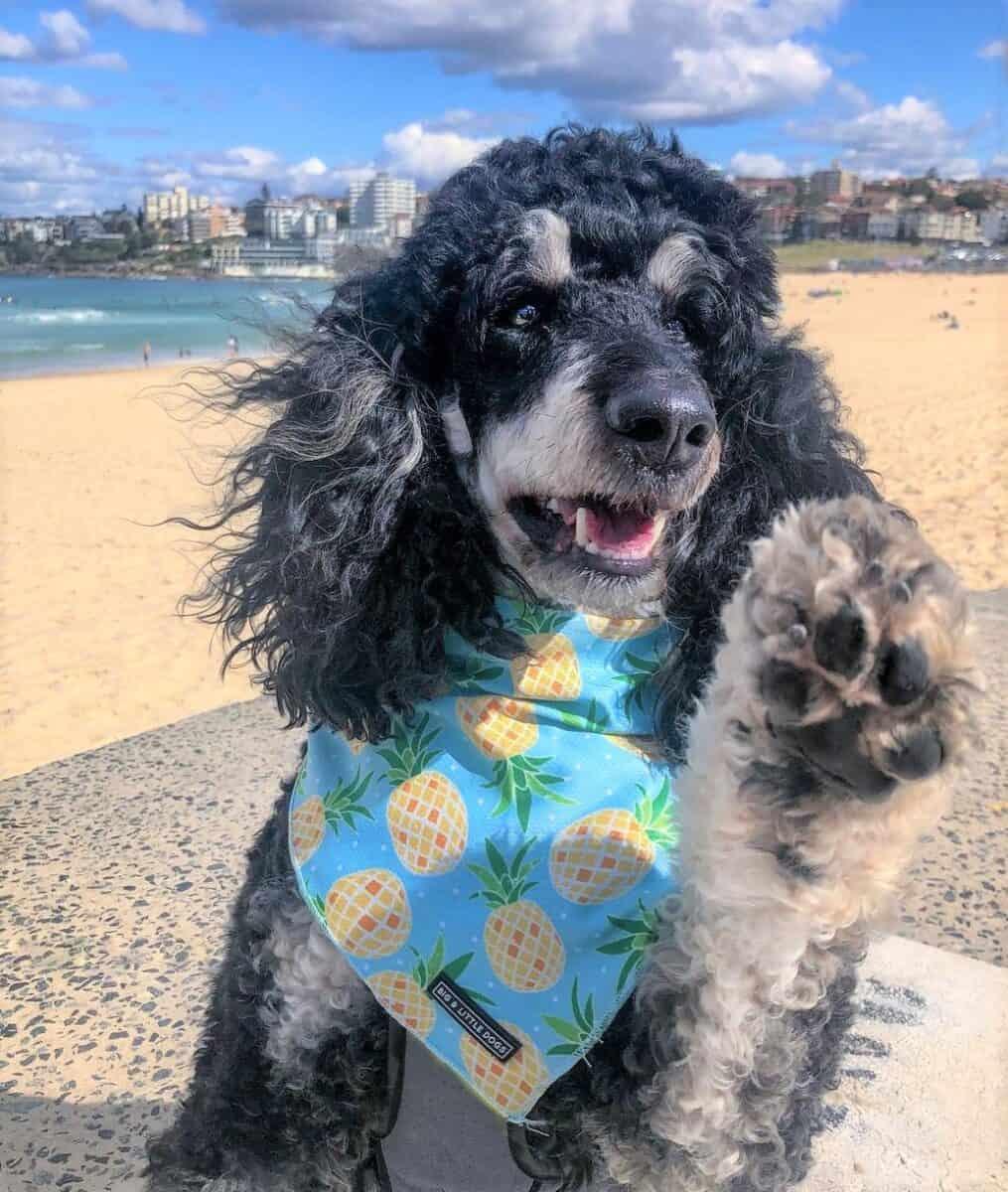 Standard phantom Poodle showing his paw