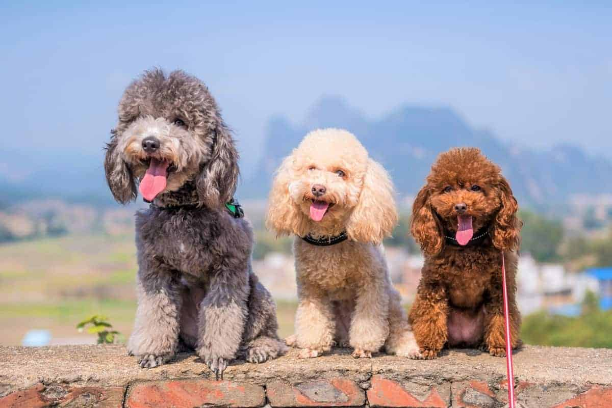 Three rescue Poodles sitting side-by-side for adoption