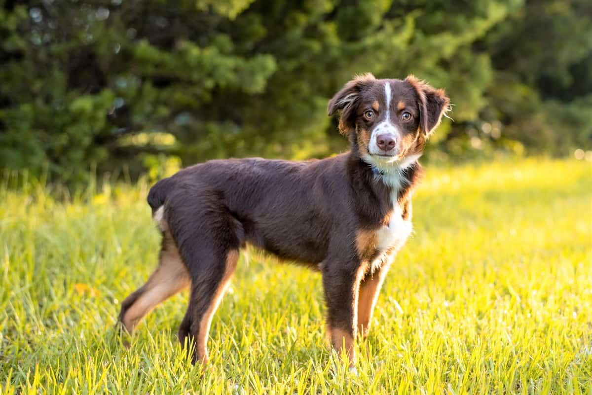 Tri-Color Australian Shepherd puppy outdoors