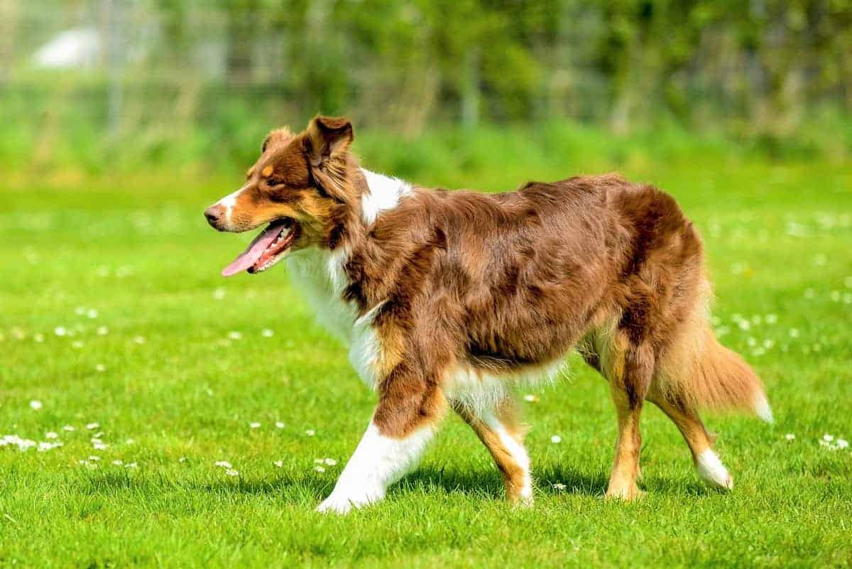 Tri color Aussie puppy on meadow