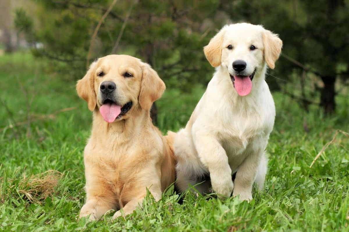 Two Golden Retrievers for sale from a breeder