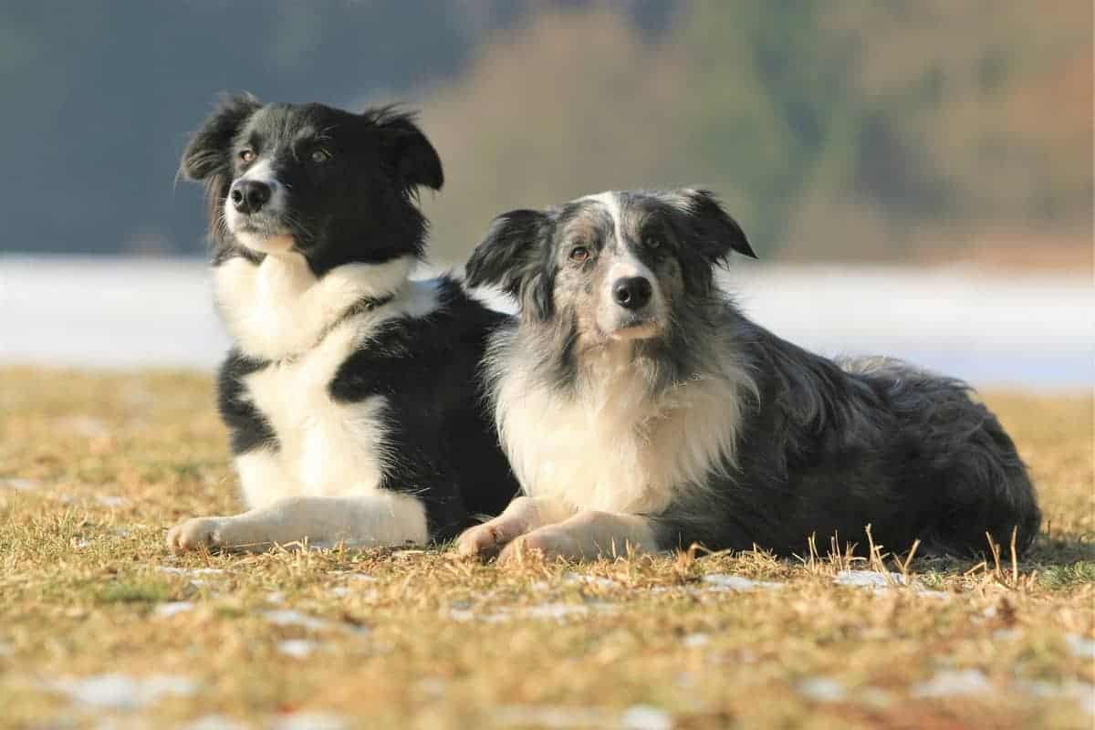Two adopted Border Collies