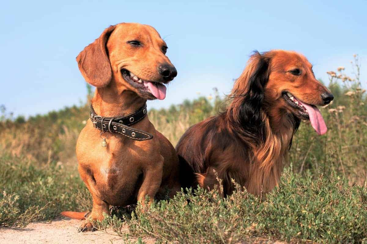 Two full grown Dachshunds at 2 years age