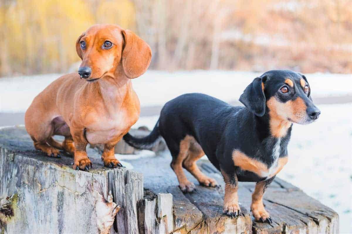 Two ideal weight Dachshunds with different coat colors