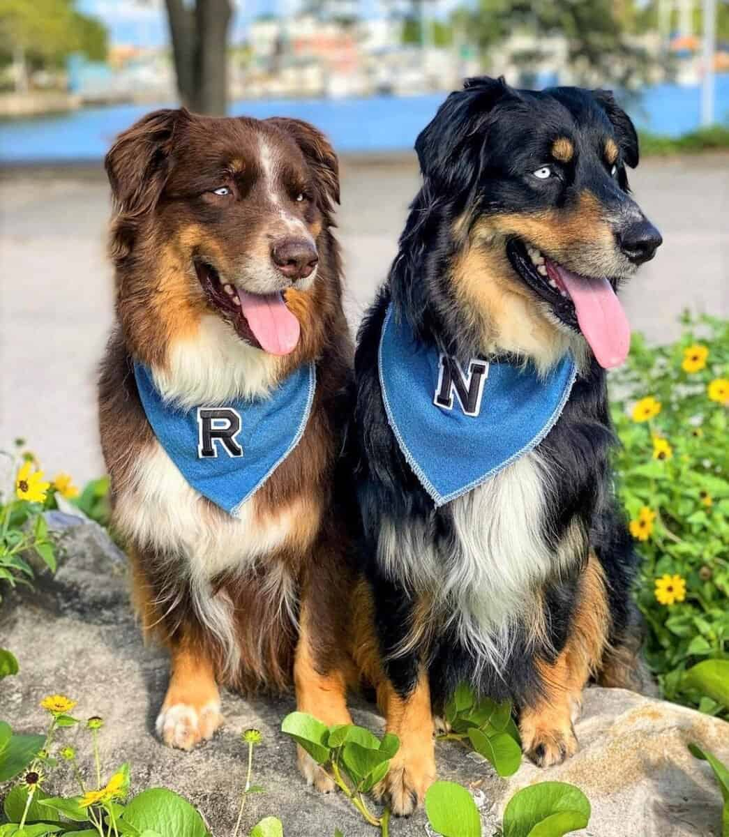 Two tri-color Australian Shepherds with different coat colors