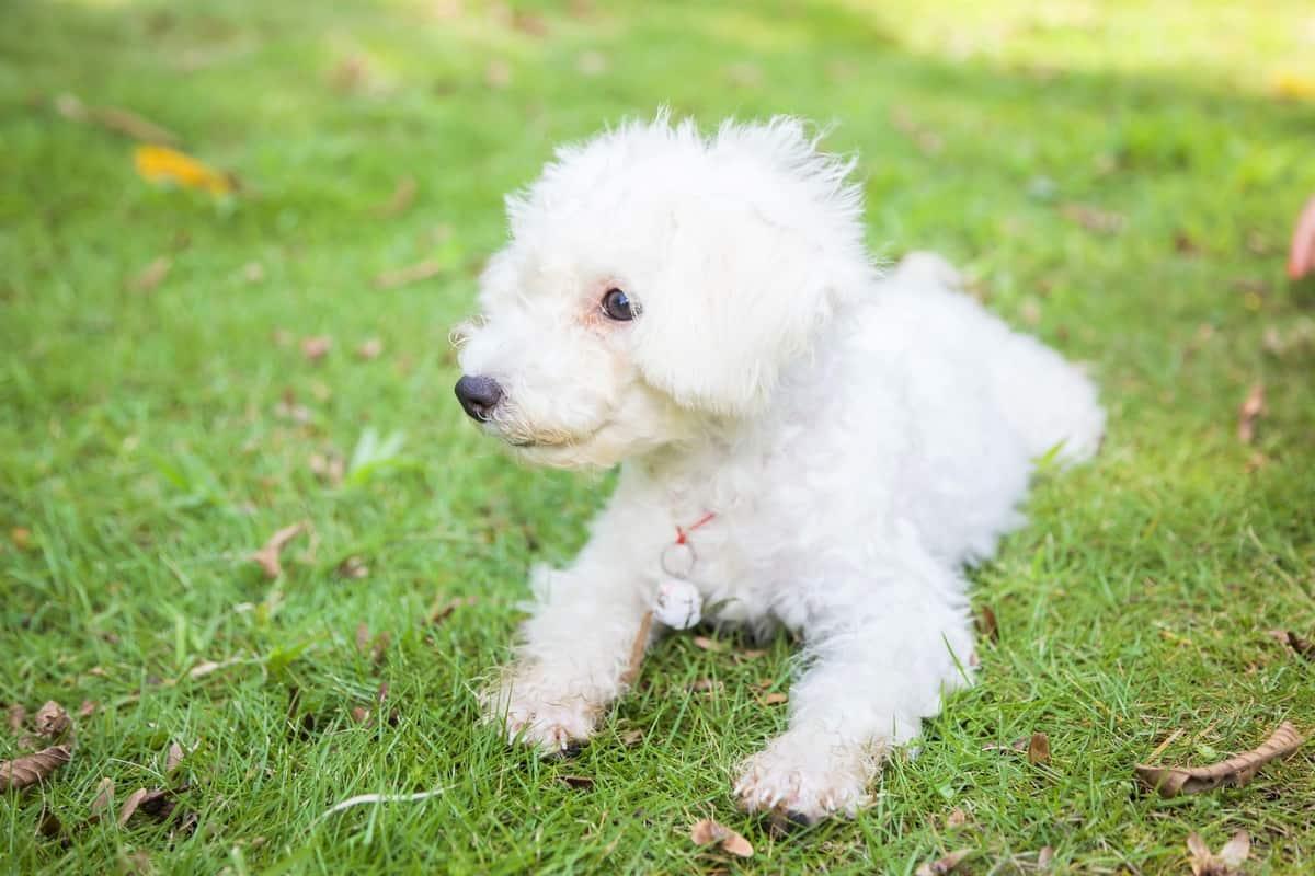 White Bichon Frise puppy outdoors