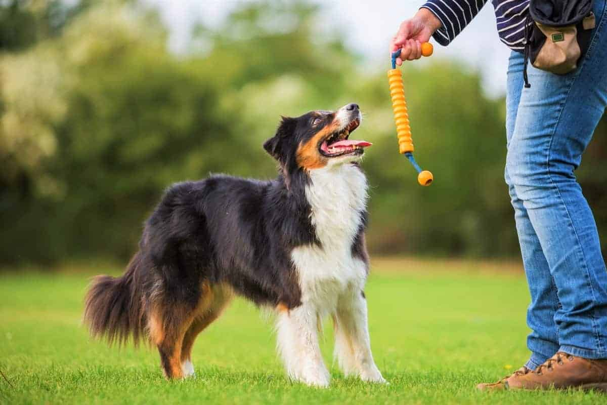Woman plays with a tri colored Australian Shepherd dog