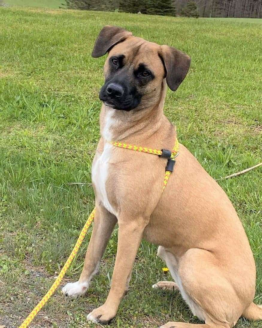 Fawn Black Mouth Cur Labrador mix walking with leash