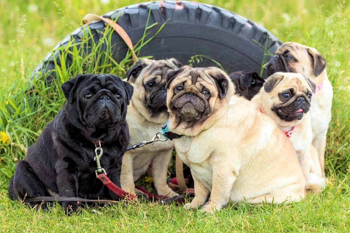 A group of rescue Pugs for adoption