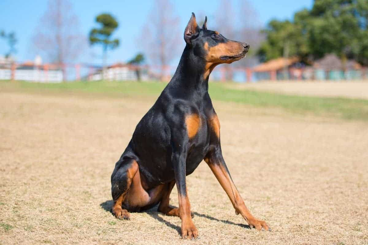 Adopted Doberman in playground