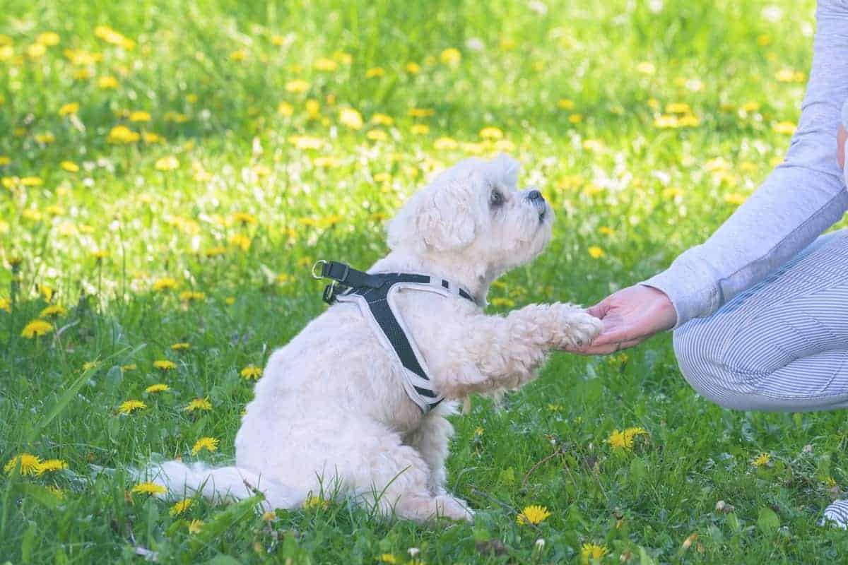 Adopted Maltese dog playing with its owner
